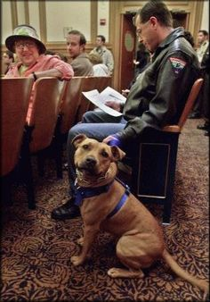 Service Pittie :) #servicedog #pitbull Check me out;  I am being so good.