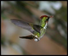 Frilled Coquette | ... -vermelho - Frilled Coquette (Trochilidae: Lophornis magnificus