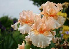 Iris PEACE PRAYER