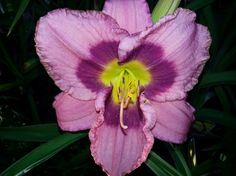 Return a Smile Daylily Day Lilies, Smile, Flowers, Plants, Florals, Smiling Faces, Planters, Flower, Blossoms