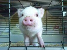 Breed Pot Bellied Pigs