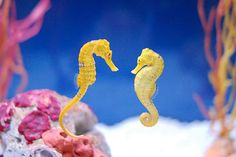 When seahorses find a mate, they wrap their tails around each other so that the tide won't drift them apart. Once a mate has been found, they spend the rest of their lives together. When the mate dies, they do as well.