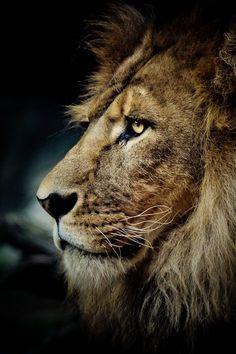 Lions are smart but dangerous