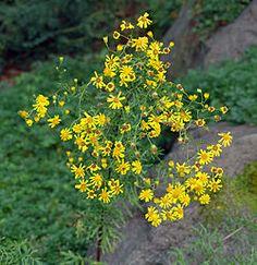 senecio louisiana   Senecio erucifolius - plant (aka).jpg