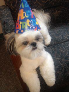 Bo's Birthday Party ❤️ #shihtzu #doggydaycare #dogboarding