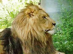 Lion at the zoo... Zoo Animals  Buffalo Ny Big Cats King Of The Jungle Lion