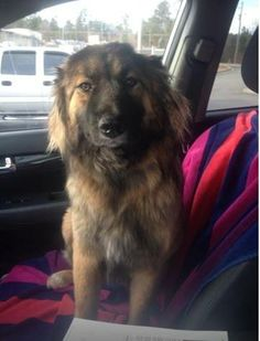 Meet MardiGras a Petfinder adoptable Shepherd Dog | Alpharetta, GA | Thank you for checking out my bio, please check back for an update. My life was saved recently and...