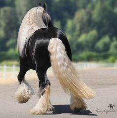 Chocolate Palomino Gypsy Vanner Stallion. Gorgeous