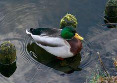 'Mr Duck' by Dorri Eijsermans