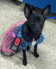 Millie Schipperke & Chihuahua Mix • Baby • Female • Small Perfect Pet Adoption Center Pickerington, OH