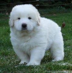 Résultats Google Recherche d'images correspondant à http://tout-toutou.fr/image-auteur/montagne-pyrenees-chiot-guide-race-chien.png