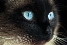 Blue Eyes by Renee East - Animals - Cats Portraits ( cat kitten kitty blue eyes siamese ragdoll seal point fur whiskers black white )