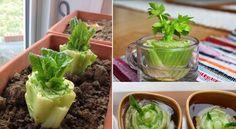 10 légumes qui repoussent à partir d'eux-mêmes