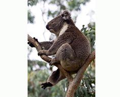 Amazing Koalas in Australia