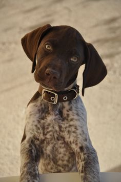 German Shorthaired Pointer. Chango listening closely