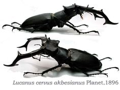 black - horns - wings - legs - beetle - wing span - display - taxidermy - entomology - entomologist - bug - wild - sitting - two - 2 - lucanus akbesianus