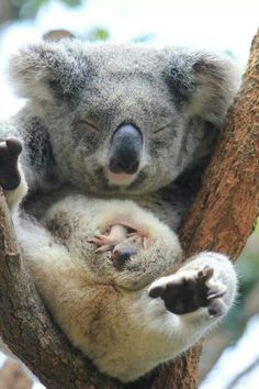 Baby koala peaking out of his mum's pouch, Taronga Zoo, Sydney.