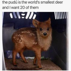 The pudú is the world's smallest deer and I want 20 of them Cute Baby Animals Cute Puppies, Cute Dogs, Cute Babies, Cute Little Animals, Cute Funny Animals, Kawaii, Funny Animal Memes, Cute Animal Pictures, Cute Creatures