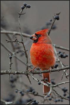 птицы, кардинал, красный