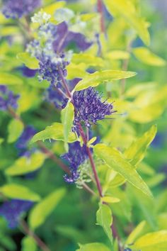 In full sun, Caryopteris x clandonensis 'Worcester Gold' is a stunner. This drought-tolerant, drainage-loving, 2-foot-tall shrub becomes the center of attraction with gold leaves and pure blue flowers