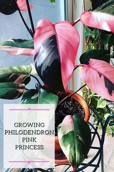 Learn how to grow the very popular and in-demand Philodendron Pink Princess! Also learn critical information on how to manage the plant's variegation.