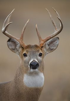 Whitetail Buck Portrait by Tom Reichner, via Flickr