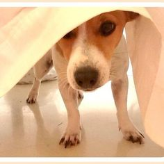 Mini, the Jack Russell Terrier Dog playing Hide & Seek under the Tablecloth I Love Dogs, Cute Dogs, Awesome Dogs, Jack Russells, Bull Terrier Dog, Rat Terriers, White Terrier, Mundo Animal, Jack Russell Terrier