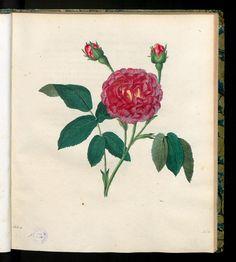 Die rothe Damascener Rose. Rosa Damascena rubro-purpurea.