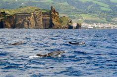 Up to a third of the world's cetaceans can be found in the waters around the Azores, including bottlenose dolphins. Image by James Kay / Lonely Planet