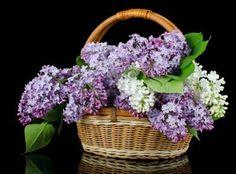 Canastilla de lilas.