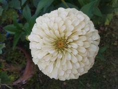 Zinnia elegans white Zinnia Elegans, Zinnias, Flowers, Plants, Plant, Royal Icing Flowers, Flower, Florals, Floral