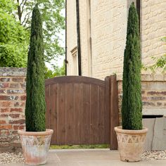 Pair of Potted Italian Cypress Trees
