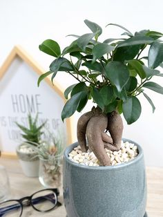 ガジュマル(学名:Ficus microcarpa) 幸福をもたらす 精霊が宿る 多幸の樹 がじゅまる Bonsai Ficus, Ficus Microcarpa, Dream Life, Houseplants, Indoor House Plants, Potted Plants