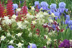 Columbine and iris --                                                                                                                        --Flowers leave some of their fragrance in the hand that bestows them.  --Chinese proverb