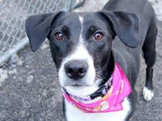 Manhattan Center SISSIE - A1028604 *** EXPERIENCED HOME, NO SMALL CHILDREN *** FEMALE, BLACK / WHITE, LABRADOR RETR MIX, 8 mos OWNER SUR - AVAILABLE, NO HOLD Reason TOO BIG Intake condition EXAM REQ Intake Date 02/23/2015 https://www.facebook.com/photo.php?fbid=968398036506409