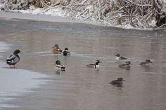 Hooded Mergansers and Mallard ©Steve Frye. Wild Bird Company - Boulder, CO, Saturday Morning Bird Walk in Boulder County - December 26, 2015.