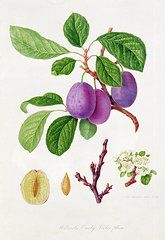 Food And Beverage Art - Wilmots Early Violet Plum by William Hooker