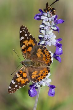 Painted Lady #putdownyourphone #awesome #butterfly #beautiful nature #colour…