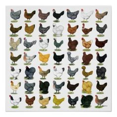 Chicken Chart