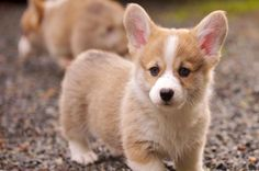 List of Small dogs that don't shed