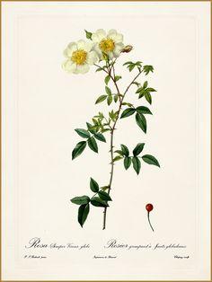 "Pierre-Joseph Redouté ""Rosa Semper-Vivens globosa"" 1819-24"