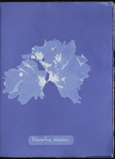 Nitophyllum ulvoideum. - NYPL Digital Collections For More Lovely Images: http://digitalcollections.nypl.org/collections/photographs-of-british-algae-cyanotype-impressions#/?tab=navigation&scroll=4 (Tag:Public Domain)