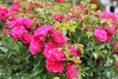 Carpet Roses Pink - Long flowering season, rich green foliage, compact bush and naturally disease resistant. Colorful Garden, Summer Flowers, Garden Furniture, Compact, Carpet, Roses, Colour, Seasons, Green