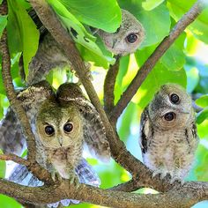 These three cute owls look like they are keeping watch for danger OR excitement. Animals And Pets, Baby Animals, Cute Animals, Owl Bird, Pet Birds, Cute Baby Owl, Nocturnal Birds, Fancy Chickens, Owl Photos