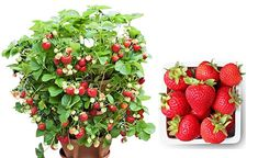 Organic Container Strawberry 315 Seeds + 1 Free Plant Marker - Delicious, Low-Maintenance Strawberry Seed, Strawberry Plants, Strawberries In Containers, Plant Markers, Free Plants, Vegetable Garden, Outdoor Gardens, Seeds, Backyard