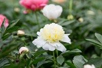 10 beautiful peonies to grow. Sticking plasters are great at repairing plants. Tall bedding plants like geraniums can be damaged by wind and the stems sometimes snap. But the plant is not lost – attach the stem back together and hold in place with a plaster. They should fuse back together.