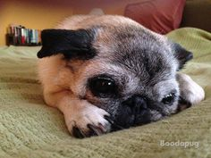 boodapug:  She had her first breakfast, first nap, second breakfast and now it's on to her second nap! Puglife.