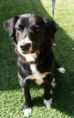 Good New, She has been adopted!   Delilah, a Petfinder adoptable Border Collie Dog | Scottsdale, AZ | Delilah is a very sweet little girl that loves everyone. She is a dainty girl at around 35 pounds....