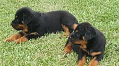 Rottweilers For Sale, German Rottweiler Puppies For Sale, Rottweiler Puppy Classified. Titer tested!