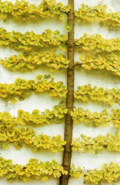 Espalier Ginkgo Tree - perfect for a small outdoor wall space with sun. Would Love to espalier two of my pomegranates! Garden Trees, Garden Art, Garden Plants, Courtyard Design, Garden Design, Trees And Shrubs, Trees To Plant, Hedges, Espalier